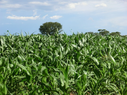Healthy maize crop