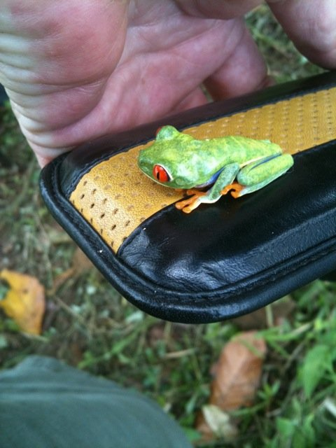 Gaudy tree frog came for a visit in Guatuso