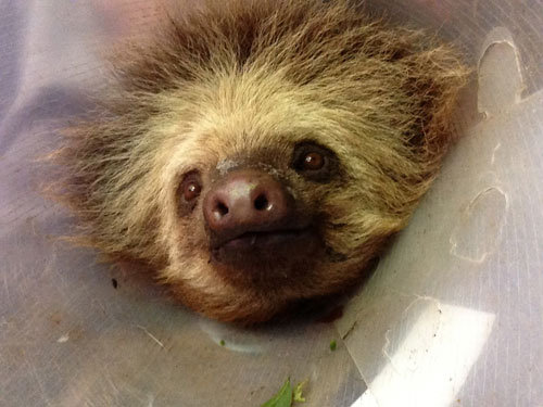 Zoe, a two-toed sloth rehabilitated at LRFF