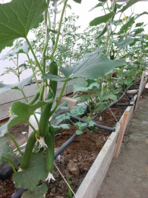 Cucumbers in the different rooftop gardens