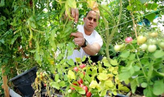 Mouad harvesting from the tomato plant