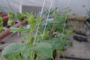 The cucumber plants growing.