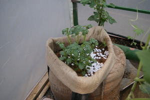 The plant after some days - with soil added!
