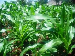 Farm at Nyamwanga Primary School