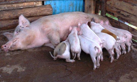 Pig Rearing At Kandara Children