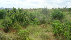 Sample from KDA Tree plantation project site