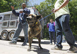 A rescued three-legged dog