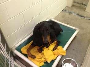 The dobie at Doberman & Rottweiler Rescue