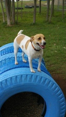 A dog tries out the agility course