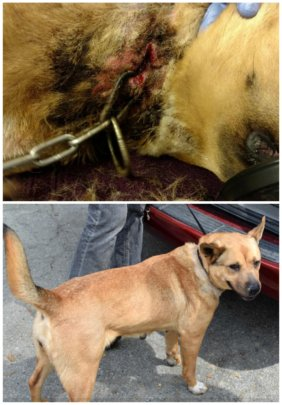 Sunshine's embedded collar was surgically removed