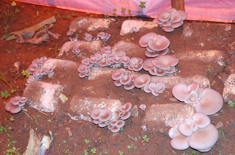 Mushrooms in the field