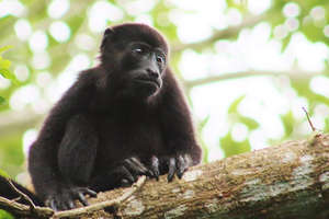 Baby Mantled-howler Monkey