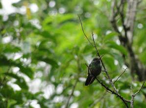 Rufous-tailed Hummingbird living along the Rio Sol