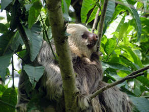 The two-toed sloth lives along the Rio Sol
