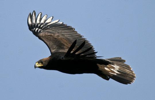 Flying juvenile