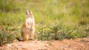 Mexican prairie dog