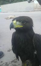 rehabilitation of injured golden eagles