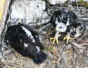 Gawky teen eaglets (Photo: Luis Felipe Lozano)