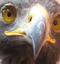 Close up of the Golden Eagle