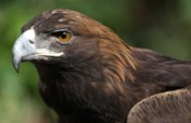 Save the Golden Eagle, Mexico's National Symbol