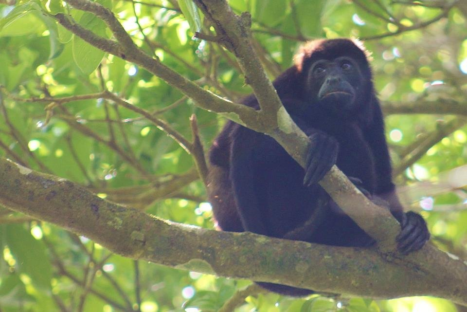 Mantled Howler Monkey, one of the species
