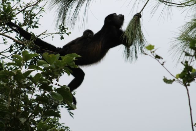 Mother and baby Howler monkeys, moving along