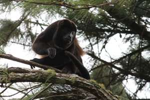 Howler Monkey at La Reserva