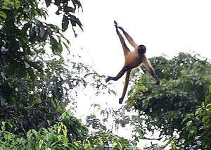 Flying Spider Monkey in Costa Rica