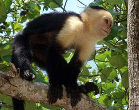 White-faced Capuchin Monkey in Costa Rica