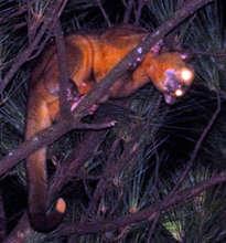 the elusive, nocturnal Kinkajou will also benefit