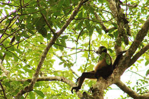 Spider Monkey in meditation?