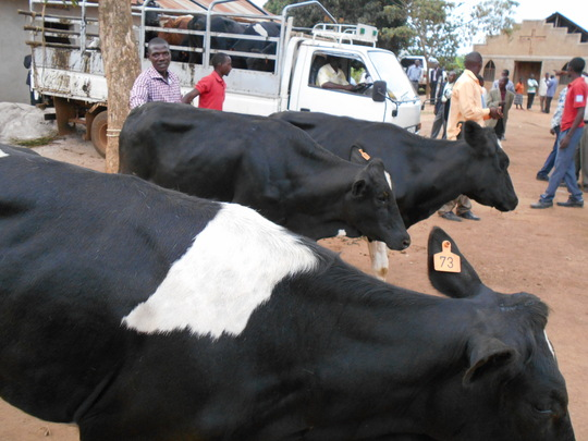 Heifers arriving to the beneficiaries