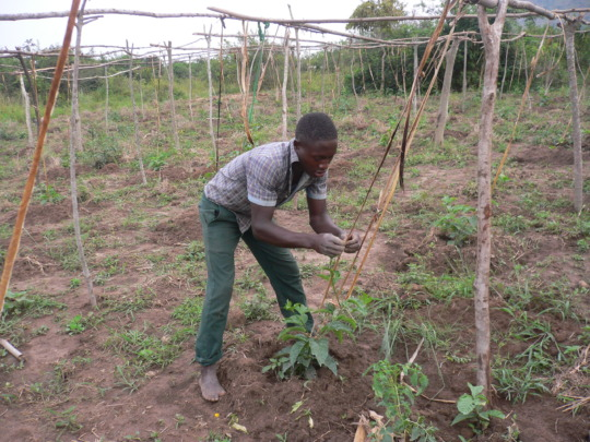 A trainee taking care of his passion fruit garden