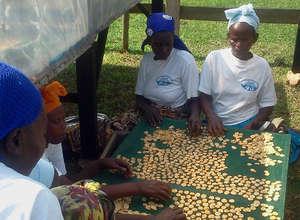 Womas cooperative drying bananas