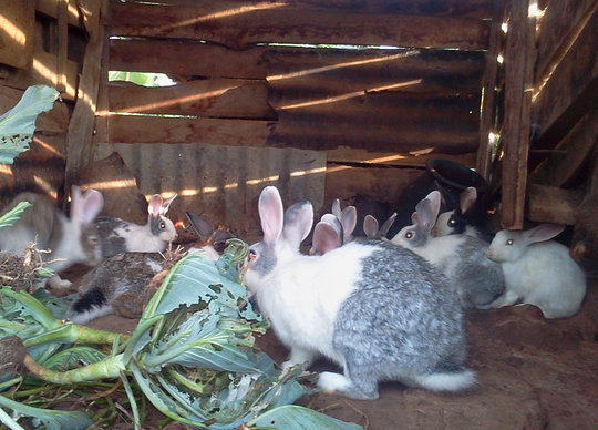 Local rabbit rearing project