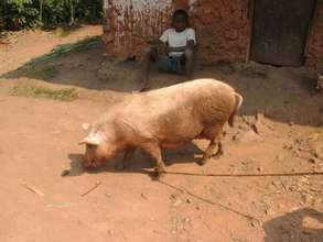 Another Karambi project - piglet rearing