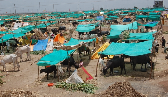 Mann Deshi Cattle Camp