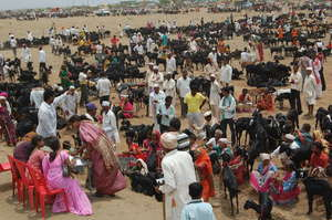 37000 goats in cattle camp