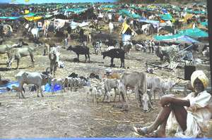 A Hope in Drought : Mann Deshi Cattle Camp