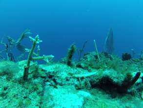 Coral transplanted to natural reef growing well