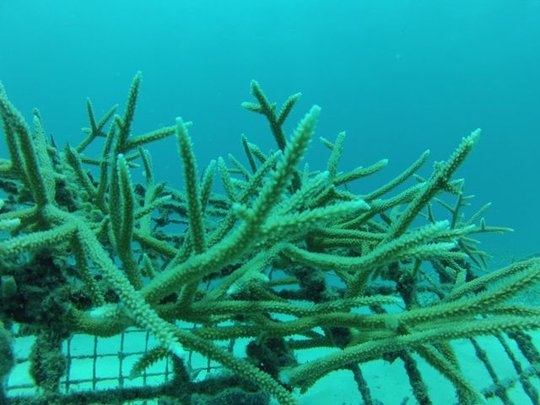 Coral fragments growing at la caleta coral nursery
