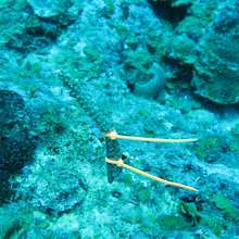 Coral fragment transplanted to natural reef