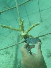 Coral fragment at las Galeras nursery