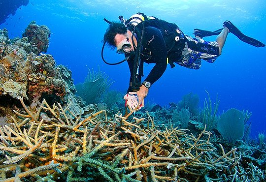 RCDR staff collecting coral from Silver Bank