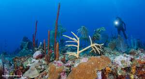 A coral fragment transplanted to natural reef