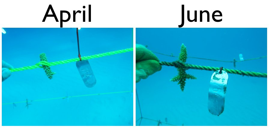 Growth comparison of coral fragment