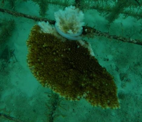 elkhorn coral 2