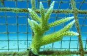Coral Reefs Restoration in the Dominican Republic