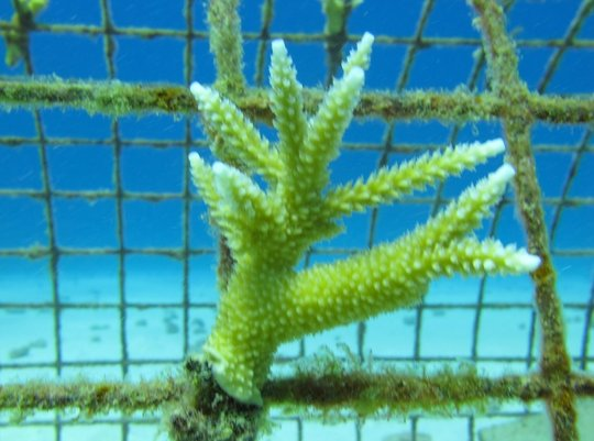 Coral Reefs Restoration in the Dominican Republic