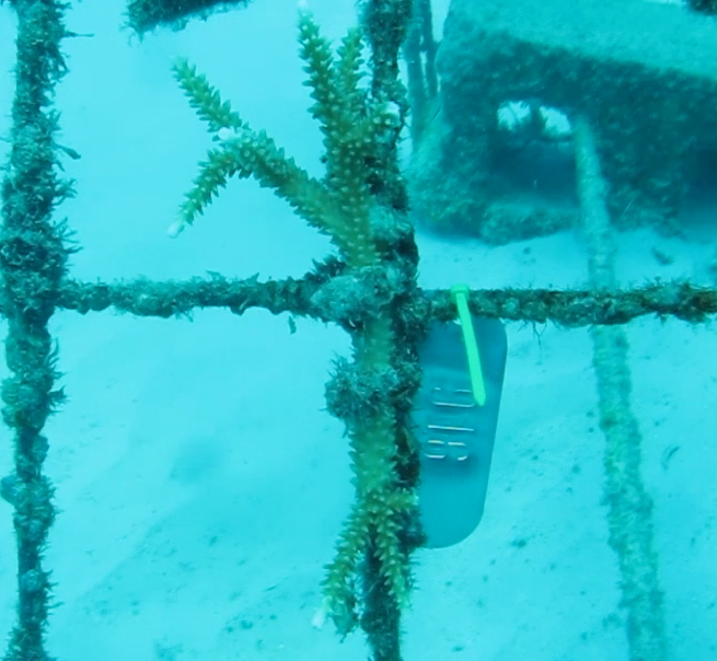 Tagged Coral Fragment on Coral Nursery